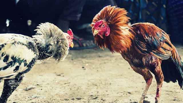 Situs Judi Sabung Ayam Promo Bonus Terbanyak