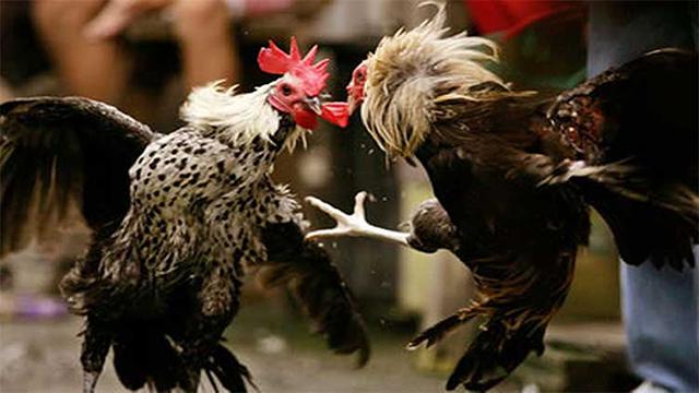 Agen Judi S128 Sabung Ayam Online Terpercaya